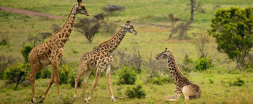 8 Days Masai Mara, Lake Nakuru, Serengeti & Ngorongoro Crater Safari
